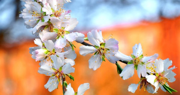 Spring, White, Almond Flower png image transparent background